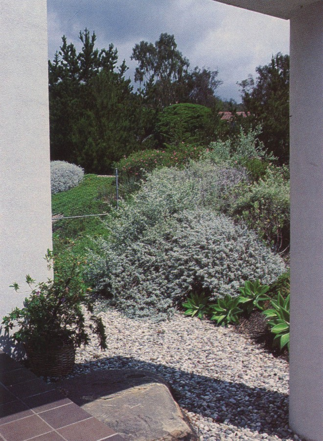 A background of deep, dark green sets off a lovely composition of drought-tolerant gray shrubs, a truly Mediterranean landscape in southern California