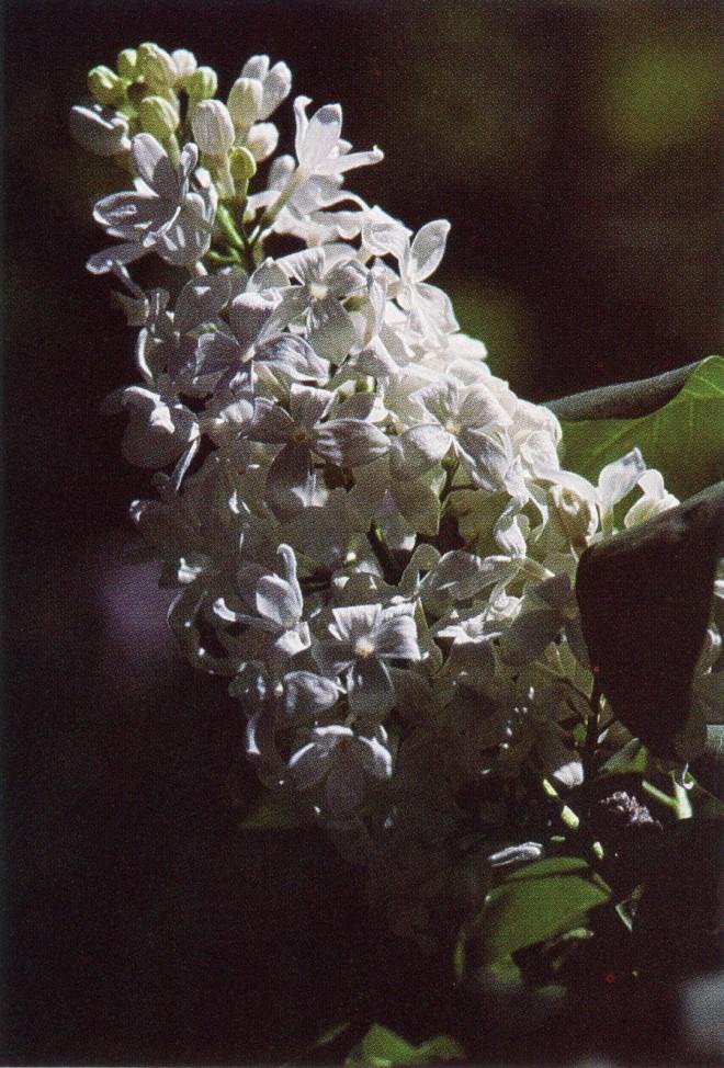 'White Spring'