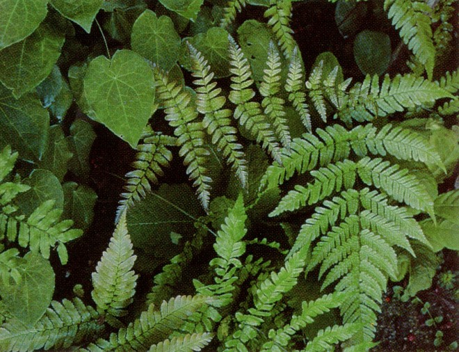 Dryopteris erythrosora. Photographs by the author.