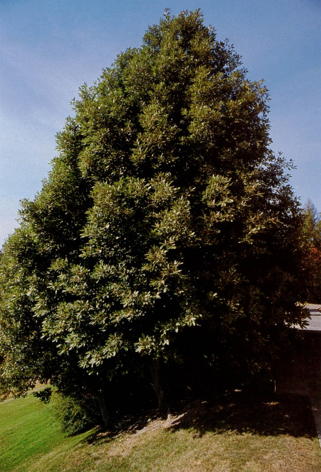 Lithocarpus densiflorus. Photograph by A.L. Jacobson.