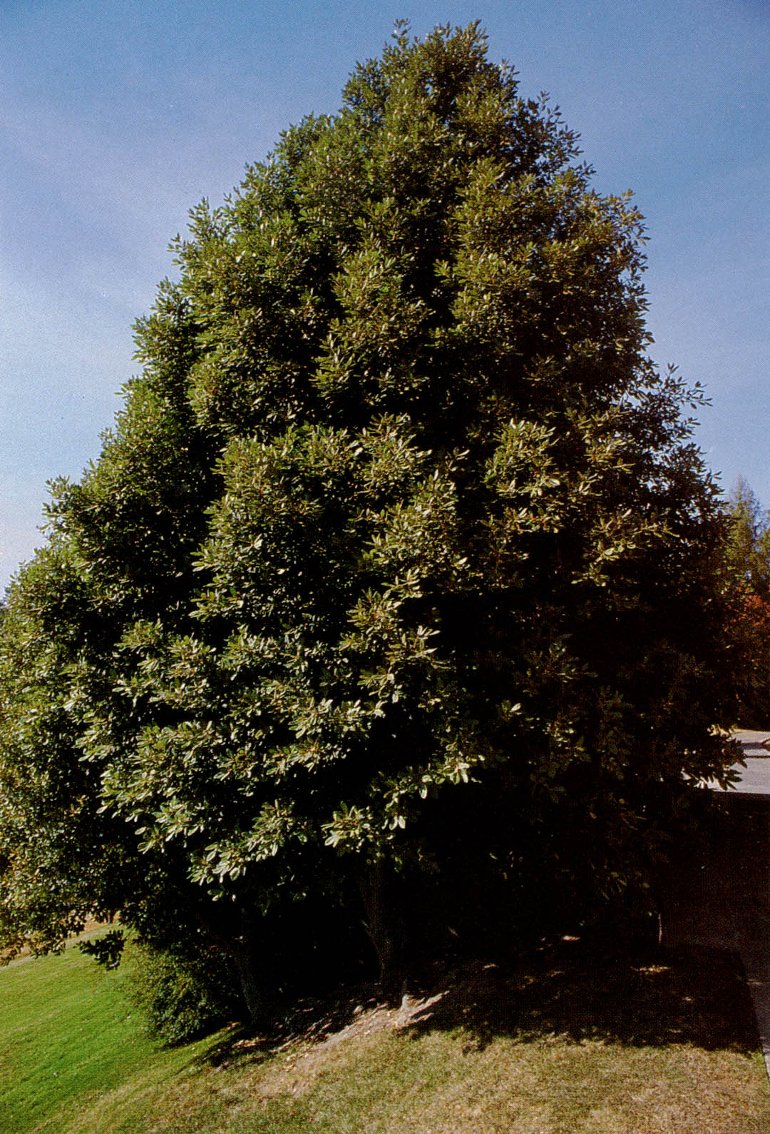 pacific horticulture society broadleaved evergreen trees for the