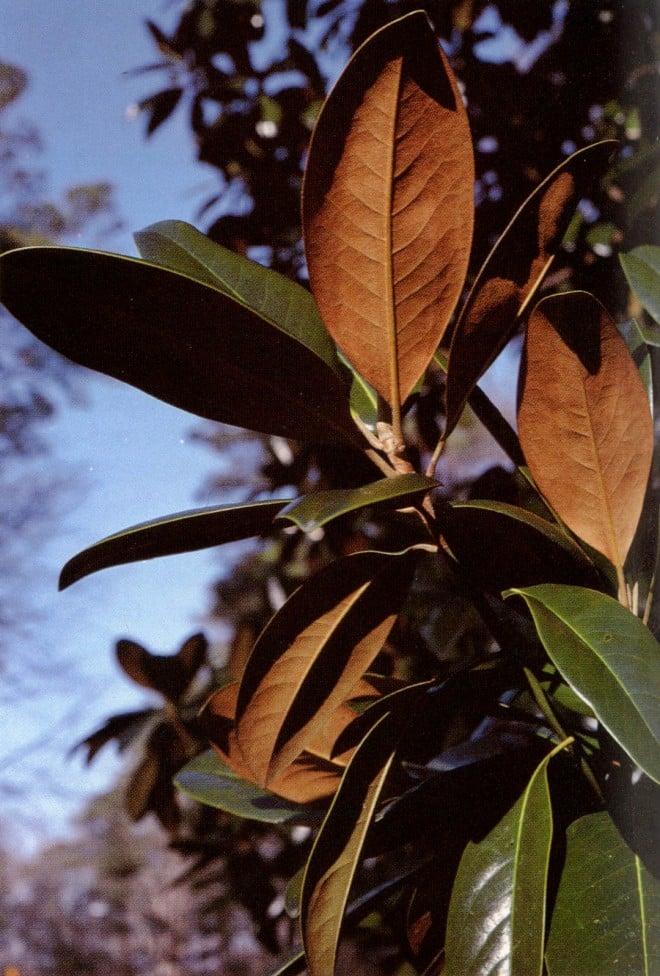 Magnolia grandiflora showing indumentum