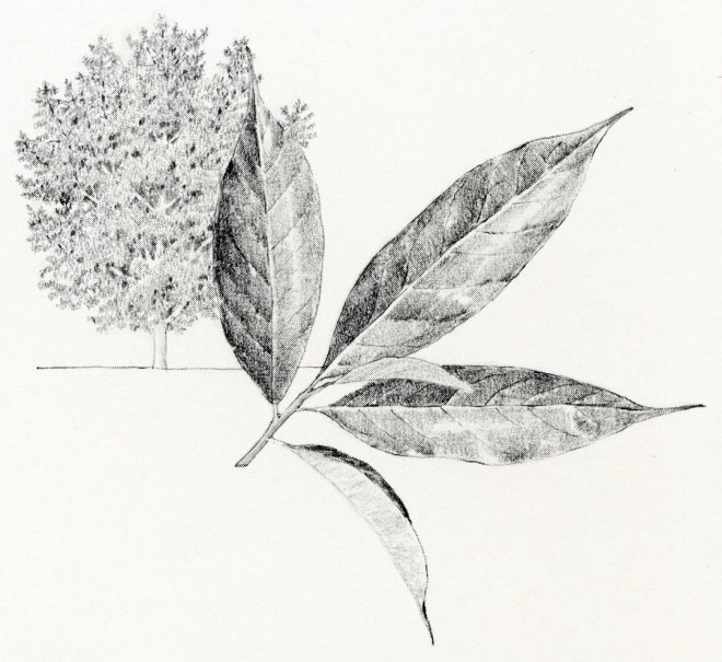 Ilex chinensis. Drawings by the author.