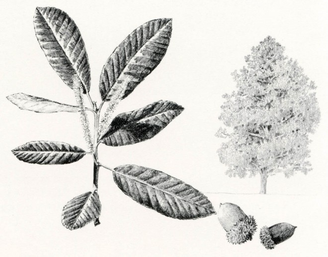 Lithocarpus densiflorus