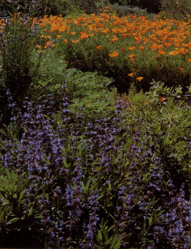 A color combination for which California in spring is famous, with lavender provided by ceanothus, sage, and woolly blue curls and orange by California poppy