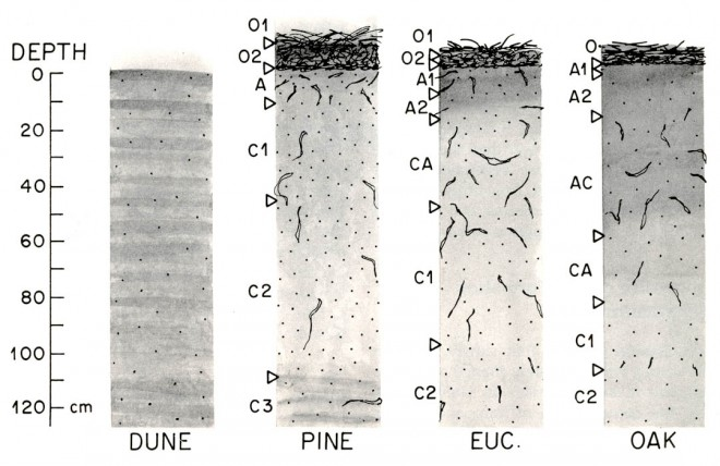 Profiles of soil beneath pine, eucalyptus, and oak trees, compared with that of unmodified dune site (100 cm = 40 ins)