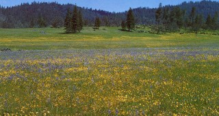 Wildflowers in Hayfork Valley, California. Author's photograph.