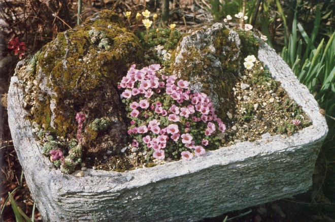 Hypertufa trough made using cardboard cartons for molds by the method described here. Saxifraga oppositifolia is the prominent plant; there are also sempervivums and other saxifrages. Author's photograph