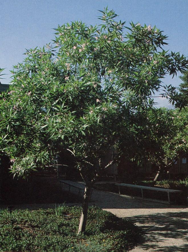 Chitalpa tashkentensis 'Pink Dawn' in the Rancho Santa Ana Botanic Garden