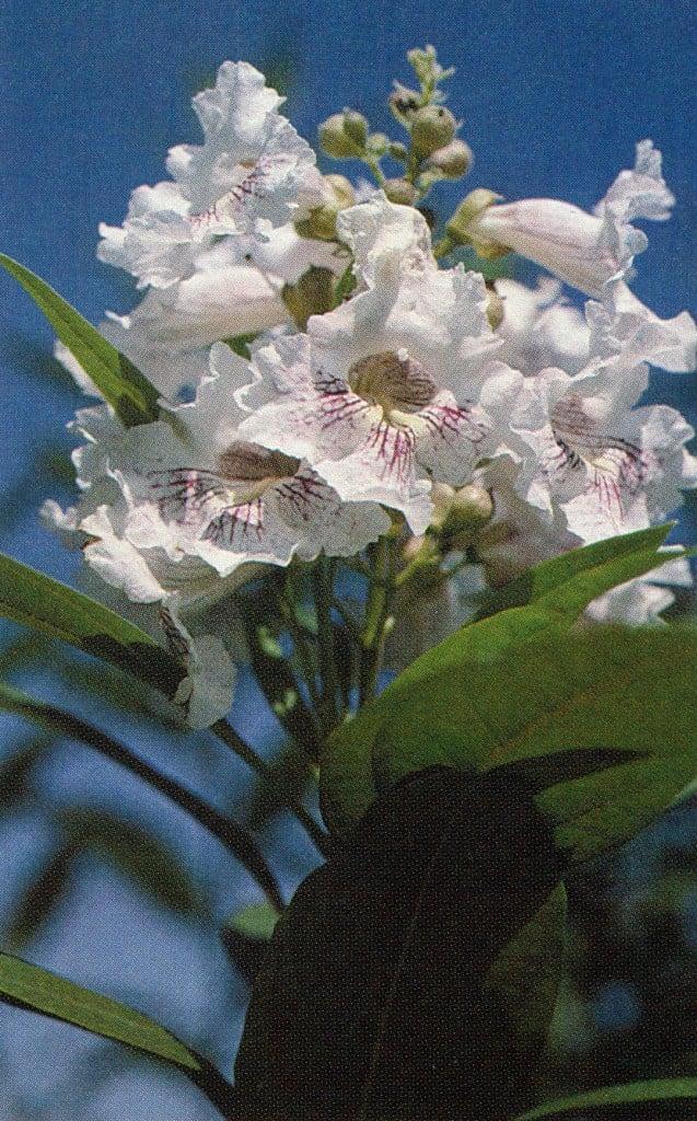 Chitalpa tashkentensis 'Morning Cloud'