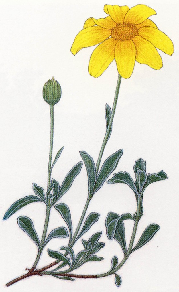 Woolly sunflower (Eriophyllum lanatum). Watercolors by Kristin Jacob courtesy of the California Native Plant Society poster project