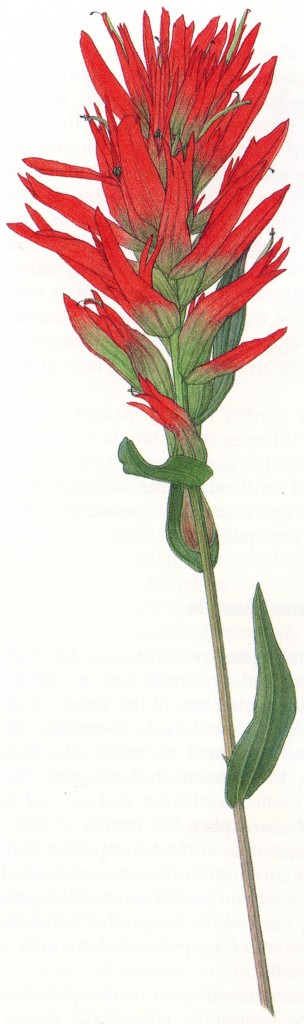 Indian paintbrush (Castilleja miniata)
