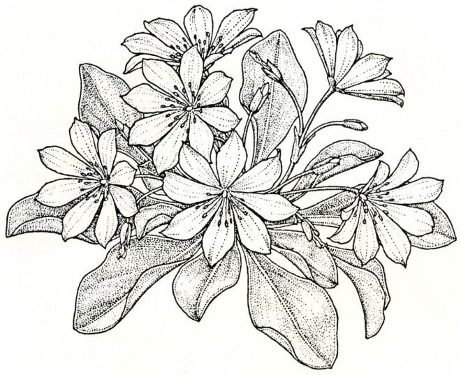 Lewisia tweedyi. Drawings by Kristin Jacob