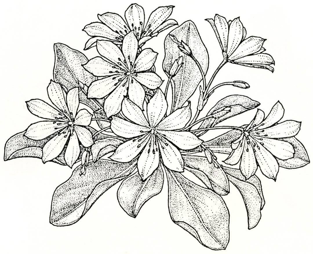 Wildflower Line Drawing : Pacific horticulture society gardening with wildflowers