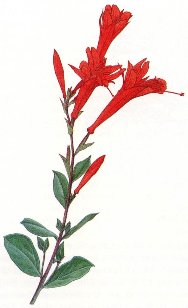 California fuchsia (Zauschneria californica subsp. latifolia)