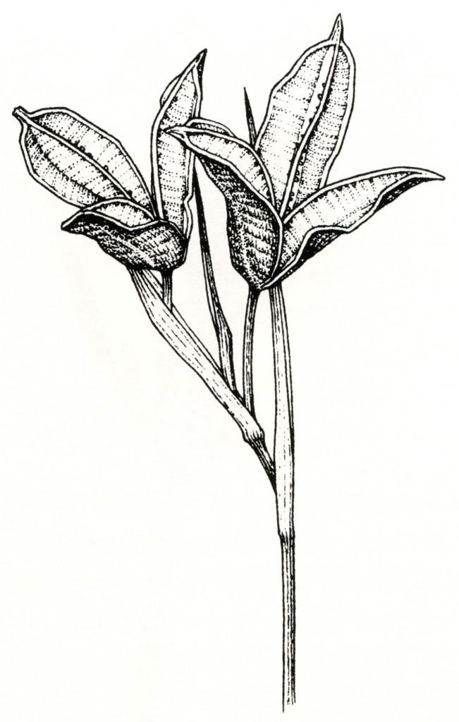 Iris douglasiana seed pods