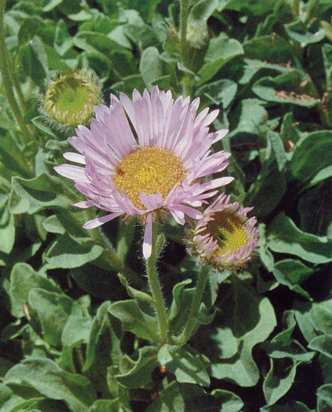 Erigeron glaucus. Photograph by Andy Rice
