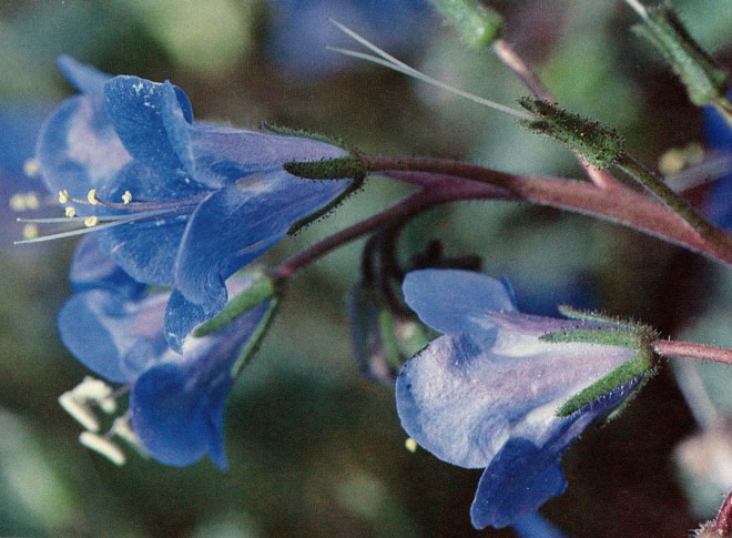 Desert bells (Phacelia campanularia). Photograph by Dede Gilman