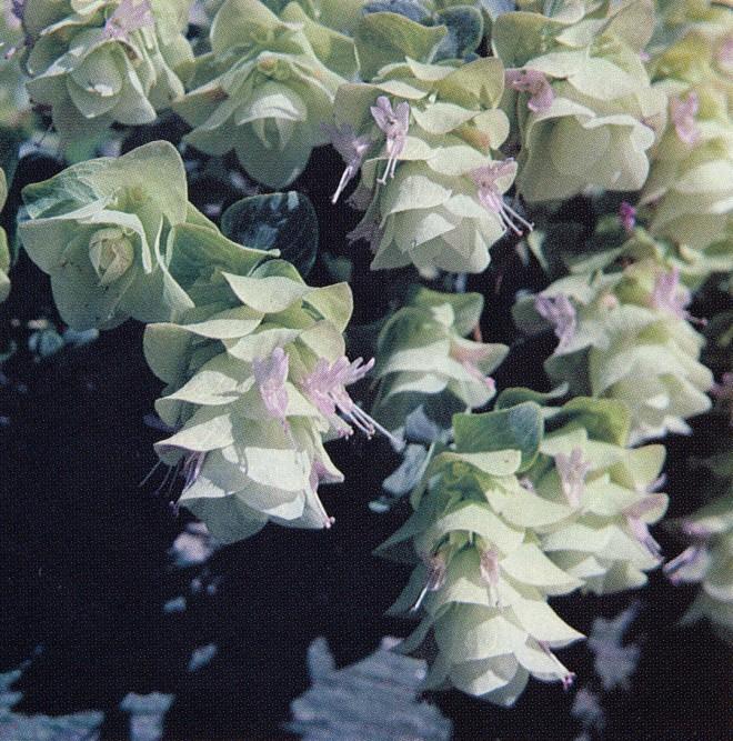 Origanum rotundifolium. Photograph by James R. Wilson