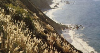 The Big Sur coast, Los Padres National Forest, California, where weedy pampas grass (Cortaderia jubata) has gained a foothold and threatens native plants with obliteration. Photograph by Larry Ulrich