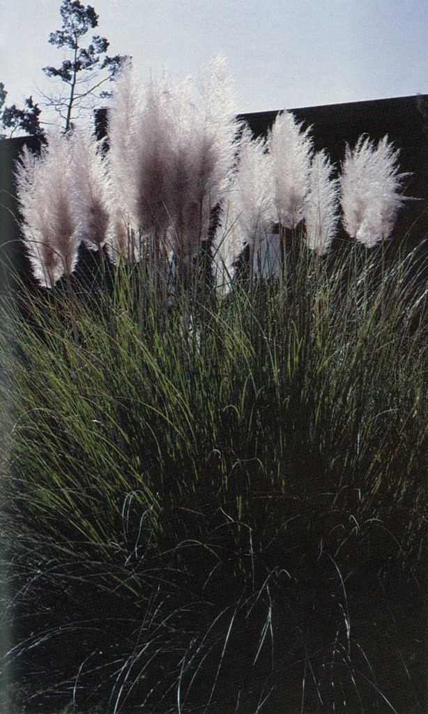 Cortaderia selloana, the pampas grass for gardens, with plumes fluffed out by hairs on the ovaries. Photograph by Pamela Harper