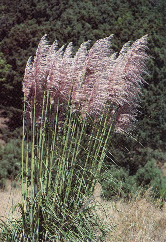 Cortaderia jubata, the weedy pampas grass, with thin plumes held well above the leaves. Photograph by George Snyder