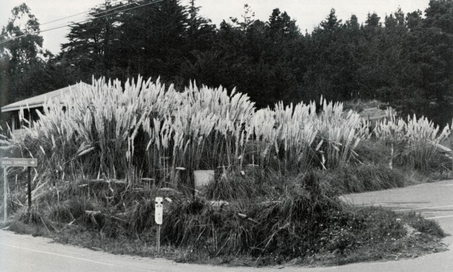 A vacant lot on Highway One in Gualala, California, taken over in about ten years by Cortaderia jubata. Photograph courtesy of the Independent Coast Observer