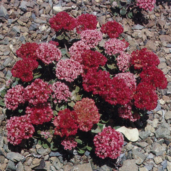 Snow mountain buckwheat (Eriogonum nervulosum), a difficult garden subject that, in the wild, inhabits deep, sliding serpentine talus slopes