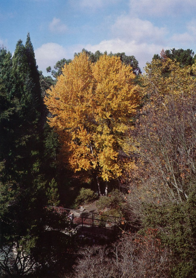 Black cottonwood (Populus trichocarpa), from San Luis Obispo County, lights up a comer of the garden in fall