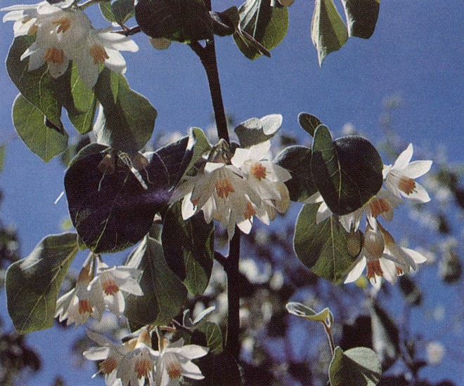 Southern styrax (Styrax officinalis var. fulvescens) is among the most flowery, fragrant, and reliable of shrubs for dry California gardens
