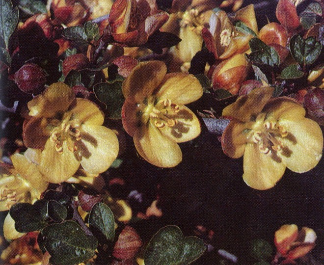Fremontodendron californicum 'Margo', a new cultivar recently introduced by the garden, differs from the famous Pine Hill fremontia (F. decumbens) in its larger, deeper yellow flowers