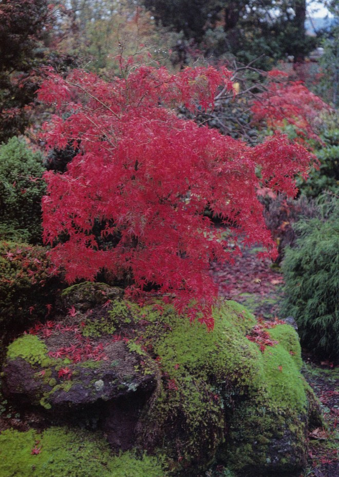 Fall color in Acer palmatum 'Kamagata'. Author's photographs