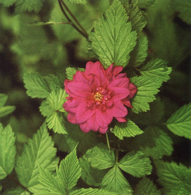 An especially bright, double-flowered plant of the native salmonberry, Rubus spectabilis 'Gunhilde'. Author's photograph