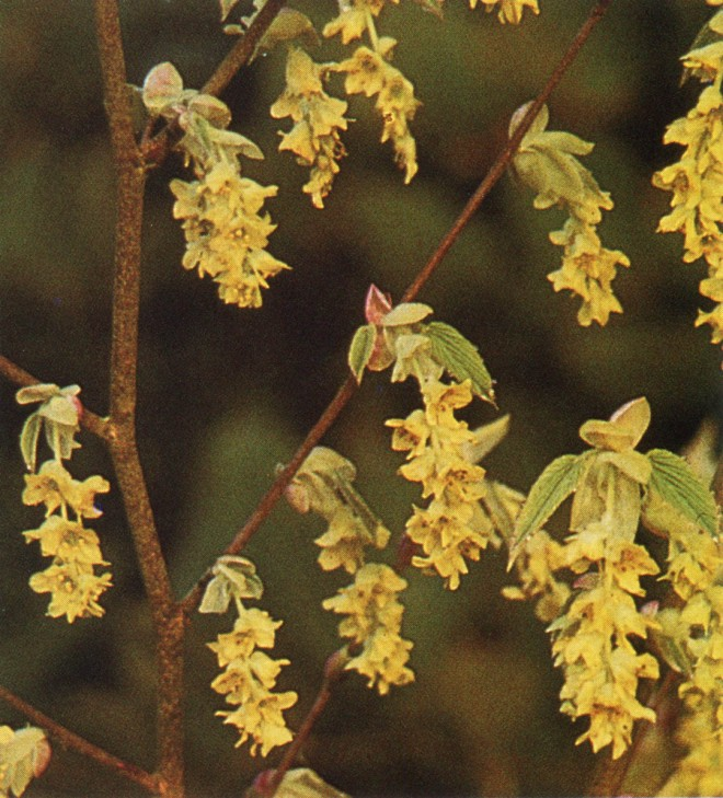 Corylopsis glabrescens. Author's photograph