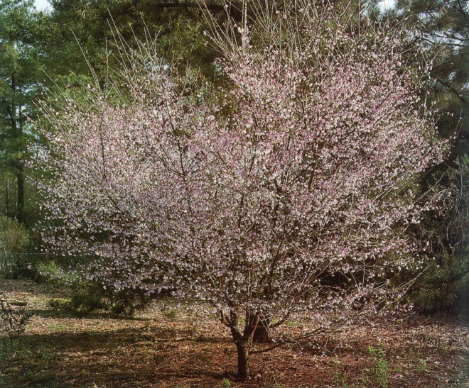 Prunus incisa. Photographs by Pamela Harper
