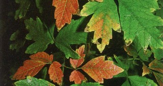 Coloring leaves of Acer griseum in fall