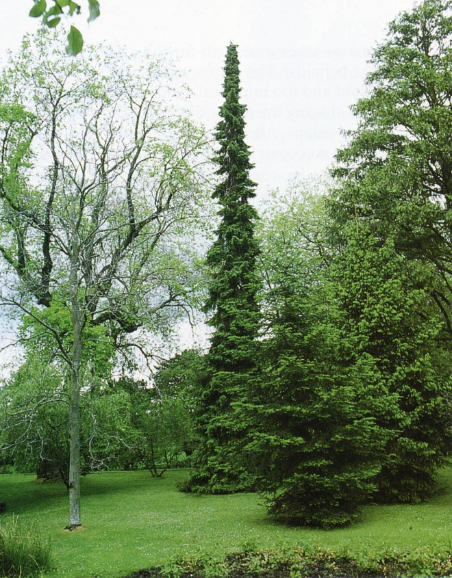 Serbian spruce (Picea omorika) rises like a rocket from surrounding trees