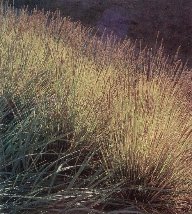 Sesleria autumnalis. Author's photographs
