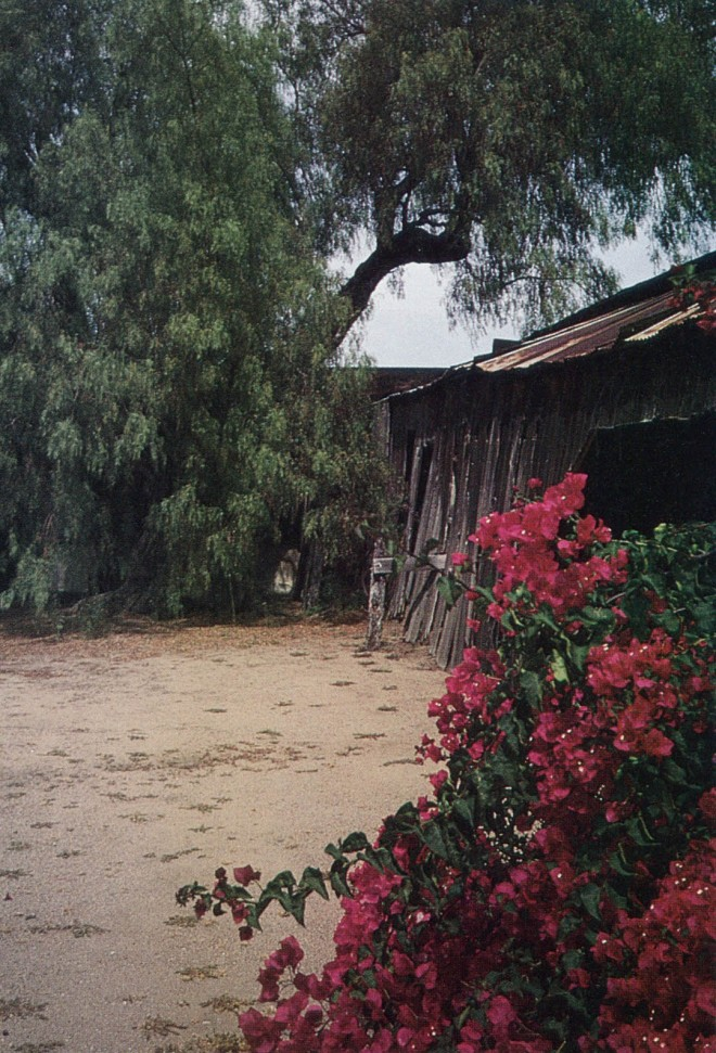 The service yard at Rancho Guajome contains a single tree of Schinus molle, thought to be a seedling from nearby Mission San Luis Rey. The bougainvillea may have been planted at the turn of the century. Author's photograph