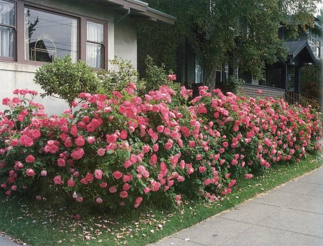 Hedge of rose 'Simplicity'