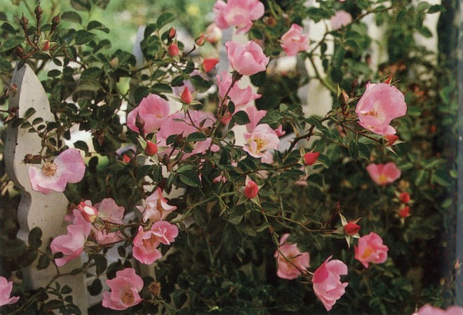 Rose 'Carefree Delight'