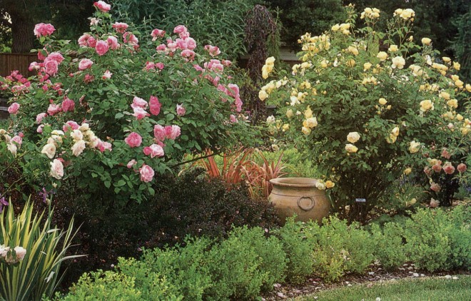 Austin shrub roses 'Mary Rose', pink, and 'Graham Thomas', yellow. Photographs by Saxon Holt except where noted