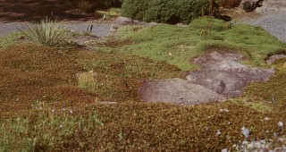 Two hardy groundcovers at the UBC Botanical Garden: Muehlenbeckia axillaris var. minor (foreground) and Coprosma petriei var. atropurpurea (background). Photographs by Neil Bell