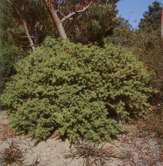 Podocarpus nivalis 'Jack's Pass' at UBC Botanical Garden