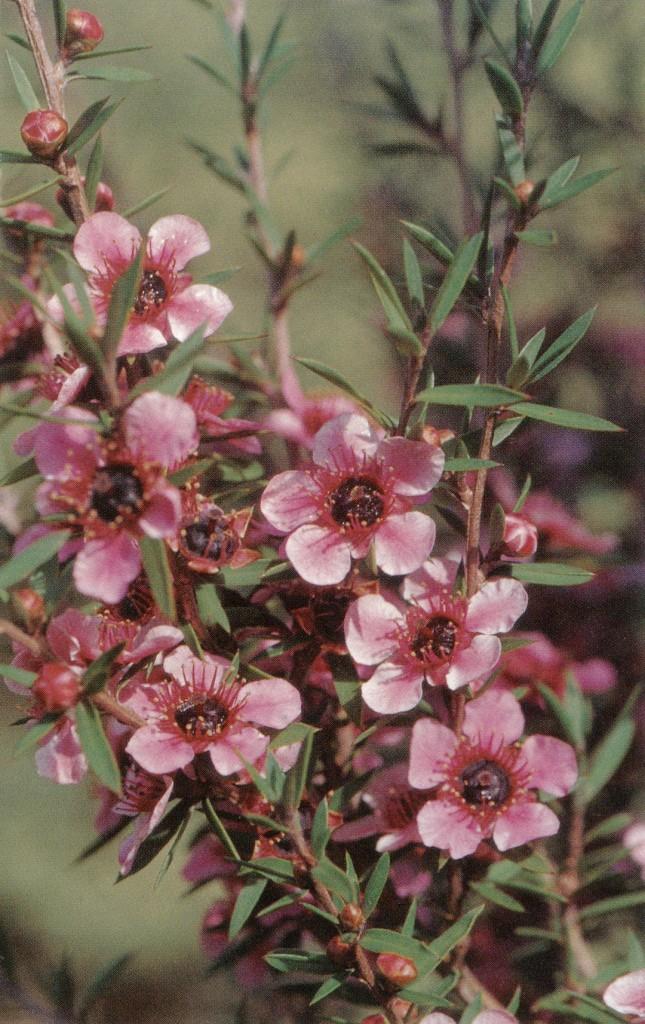 One of the most popular of New Zealand tea trees (Leptospermum scoparium 'Helene Strybing'), named for Strybing's benefactor