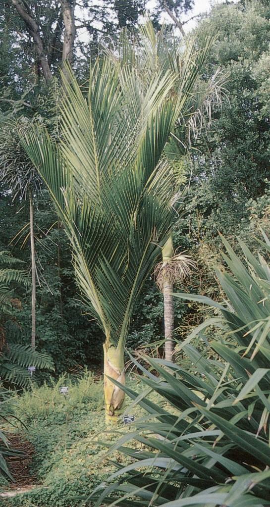 Nikau palm (Rhopalostylis sapida) in the New Zealand garden at Strybing Arboretum