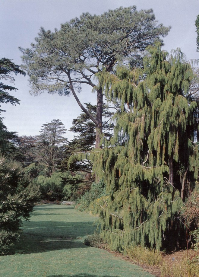 The original rimu (Dacrydium cupressinum) from the Panama Pacific International Exposition, now growing at Strybing Arboretum