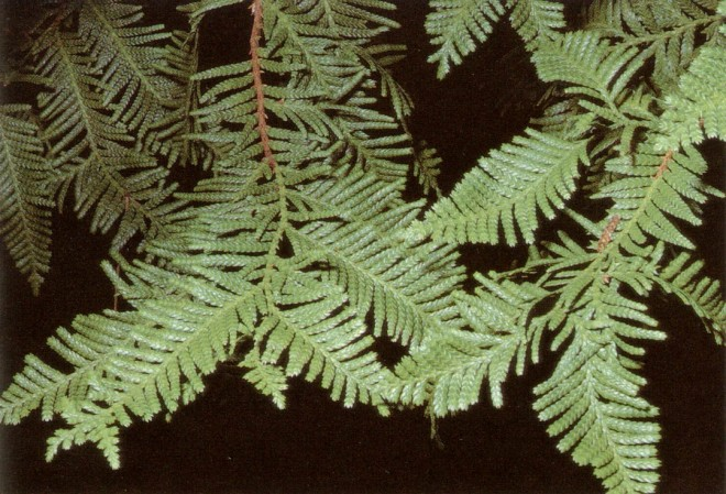 The lime-green foliage of Libocedrus plumosa. Photograph by John Kipping, courtesy of the Helen Crocker Russell Library