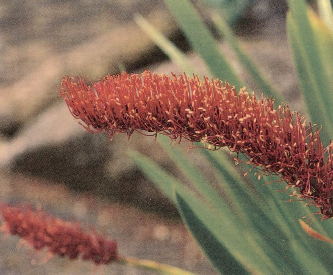 Brush-like floral spikes of Poor Knights' lily (Xeronema callistemon) at Lanarch Castle, New Zealand