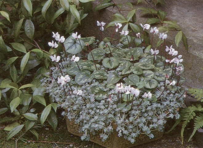A container of Cyclamen coum 'Album' and Sedum spathulifolium 'Cape Blanco' at the Dunn Garden